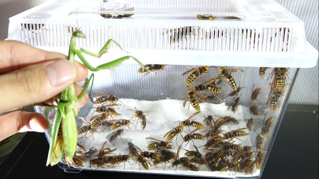大量のスズメバチの中にカマキリを放り込んだら凄いことになった