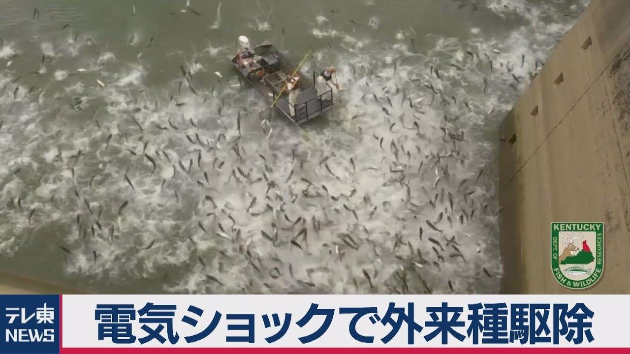 電気ショックで外来魚を駆除